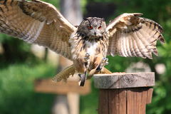 Owl about to land. A large owl with wings spread is about to land on a pole during a bird show, claws pointing forwards Royalty Free Stock Images