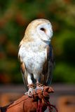 Owl with trainer Royalty Free Stock Image