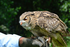 Owl on trainers hand Royalty Free Stock Images