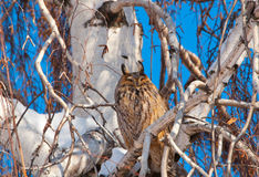Owl on a tree Royalty Free Stock Photos