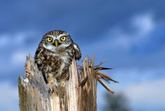 Owl on tree. With blue background Royalty Free Stock Image