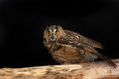 Owl on a tree Royalty Free Stock Photography