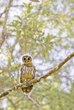An owl on a tree branch Royalty Free Stock Photography