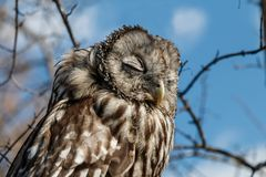 Owl on a tree branch Royalty Free Stock Image