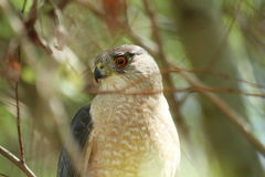 Coopers Hawk in tree Royalty Free Stock Images