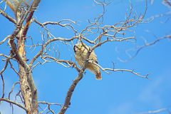 Owl on a tree in a mountain forest Royalty Free Stock Photography