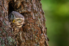 Owl in the tree nest hole. Little Owl, Athene noctua, in the nest hole, forest in central Europe, portrait of small bird in the na Stock Image