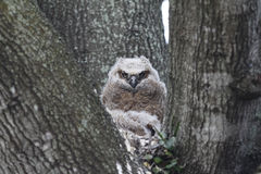 Owl in a tree. Portrait of an owl perched in the branches of a tree Stock Photography