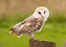 Owl On the Tree Stump Stock Photos