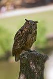 Owl on tree stump Royalty Free Stock Image