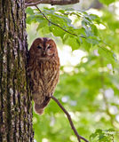 Owl on the tree. Tawny owl or brown owl (Strix aluco stock image