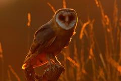 Owl on tree trunk in meadow. Barn owl, Tito alba, nice bird sitting on stone fence, evening light, nice blurred light green the ba royalty free stock photos