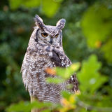 Owl in trees Royalty Free Stock Photos