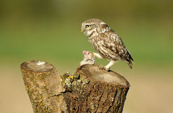 Owl on the trunk with a dam Stock Images