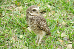 Owl with turned head on grass Stock Image