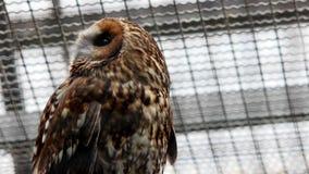 Owl Turning Head stock video footage