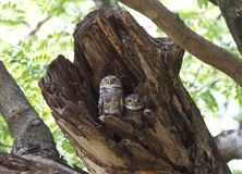 Owl. Two owl in the old stump Royalty Free Stock Image