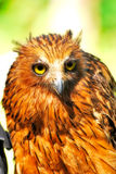 A Tawny Fish Owl Under The Sun. A photo taken on a Tawny Fish owl under the hot sun Stock Images