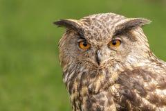 Owl Up Close e fissare immagine stock