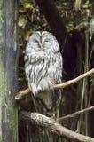 Owl of the ural stock photos