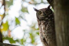 Owl Watches från träd Arkivfoto