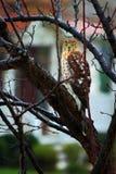 Owl Watching Royalty-vrije Stock Afbeelding