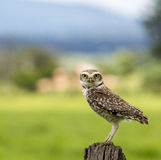 Owl watching Stock Photography