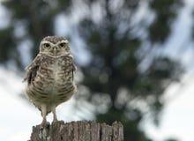Owl watching Stock Image