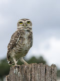 Owl watching Royalty Free Stock Photo