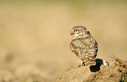Owl watching in the field with a dam Royalty Free Stock Photo