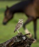 Owl watching Stock Photos