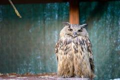 Owl watching Royalty Free Stock Photo