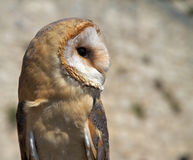 Profile of a barn owl Stock Photography