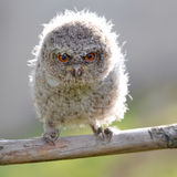 An owl. What a ferocious expression on its eyes,may be the owl feel the attack Stock Photo