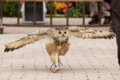 The owl which runs up Stock Photography