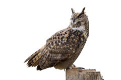 Owl on white Stock Photography