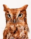 Owl on white. Studio portrait of a wild owl staring on white background Stock Image