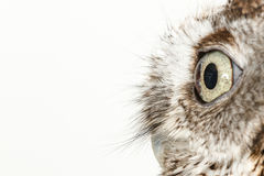 Owl on white background. Studio portrait of a wild owl staring on white background Royalty Free Stock Images