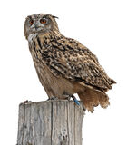 Owl on white background Stock Image