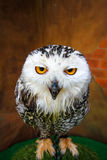 Owl white face looking at you Royalty Free Stock Images