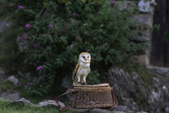 The owl. On the wicker basket Stock Images