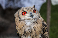Owl. Wild owl with big orange eyes Royalty Free Stock Photo