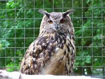 Owl royalty free stock image