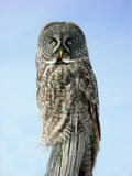 Owl on a windy day. Owl sitting on a post during the 2005 owl invasion in central Minnesota Stock Photos