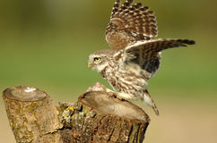 Owl with wings outstretched Stock Image