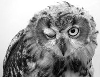 Owl Winking Stock Photos