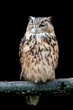 Owl winking at the camera. Isolated on black Royalty Free Stock Photography