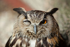 Owl. A winking owl, sleeping bird, tired owl stock photography