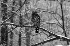 Owl in Winter Royalty Free Stock Photo