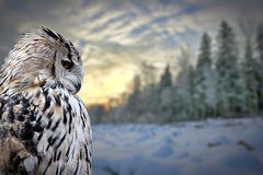 Owl on winter forest background royalty free stock photos